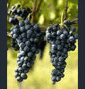 Grapes of Aglianico